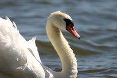 stum swan Arkivbilder