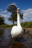 stum swan arkivfoton