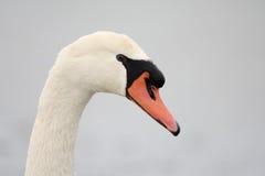 stum swan arkivbild