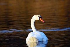 stum swan Fotografering för Bildbyråer