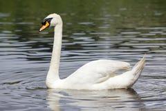 Stum Swan Royaltyfria Foton