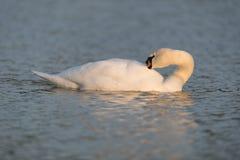Stum swan royaltyfri foto