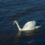 Stum swan Royaltyfri Bild