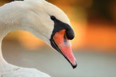 stum swan Arkivfoto
