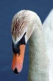 stum swan för closeup royaltyfri foto