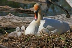 stum swan för cygnets Fotografering för Bildbyråer
