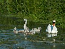 stum swan för cygnets royaltyfria bilder
