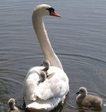 stum swan för cygnets arkivfoto
