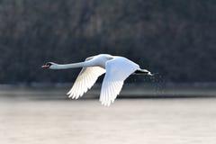 stum swan för flyg arkivbild