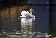 stum swan för lake Arkivfoton
