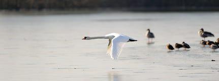 Stum swan i flyg royaltyfria bilder