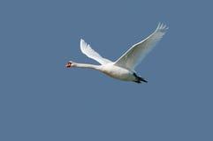 Stum swan på flyg Royaltyfri Fotografi