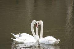 Stum swan tre på laken. arkivbild