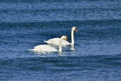 Stum Swan två Royaltyfri Fotografi