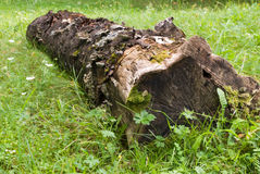 Stumb. Moldering stump  with moss on a grass Stock Photo