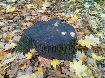 Stumb at autumn. Royalty Free Stock Photo