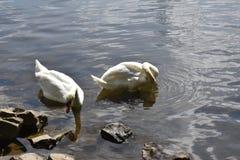 Stumma svanar arkivbild