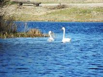 Stumma svanar i det baltiska havet royaltyfria foton