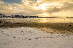 Stumma svanar i kallt väder i Hamresanden, Norge Royaltyfri Foto