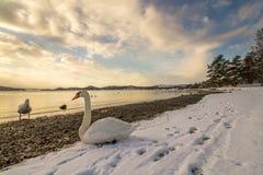 Stumma svanar i kallt väder i Hamresanden, Norge Arkivfoto