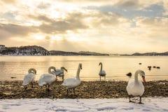 Stumma svanar i kallt väder i Hamresanden, Norge Royaltyfri Fotografi