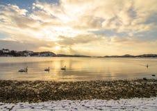 Stumma svanar i kallt väder i Hamresanden, Norge Arkivfoton
