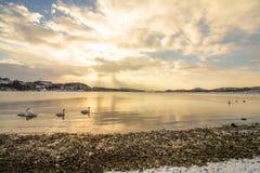Stumma svanar i kallt väder i Hamresanden, Norge Royaltyfria Bilder