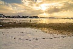 Stumma svanar i kallt väder i Hamresanden, Norge Royaltyfria Foton