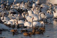 Stumma svanar och änder i den djupfrysta floden på solnedgången royaltyfria bilder