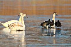 Stumma svanar och sothönor på det djupfrysta dammet arkivfoto