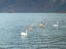 Stumma svanar på sjön arkivbilder