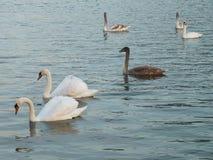 Stumma svanar på sjön fotografering för bildbyråer