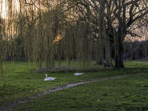 Stumma svanar som matar på grässolnedgång Arkivfoton