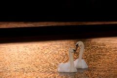 Stumma svanar som uppvaktar i aftonljus royaltyfri bild
