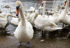 stumma swans Arkivbilder