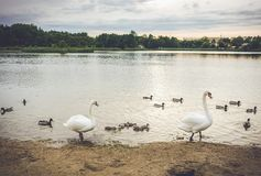 Stumma vita svanar i sjön royaltyfri bild