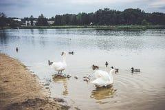 Stumma vita svanar i sjön arkivbild