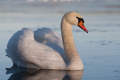 Stummer Schwan Stockfoto