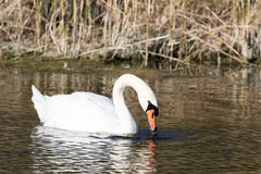 Stummer Schwan Stockbild