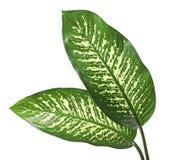 Stummer Stock des Dieffenbachiablattes, Grünblätter, die weiße Stellen enthalten und Flecke, tropisches Laub lokalisiert auf weiß lizenzfreie stockbilder