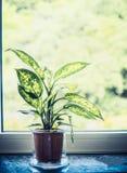 Stummer Stock des Innenhauses oder Grünpflanze des Dieffenbachia im Topf auf Fensterbrett Stockfotos