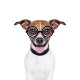 Stummer verrückter Hund Lizenzfreie Stockfotografie