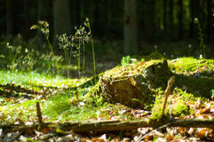 The stump. Old, mossy tree stump in green, sunlit forrest floor Royalty Free Stock Photo