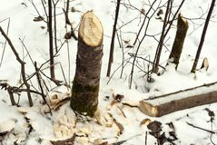 Stump of aspen, tumbled by beaver Stock Images