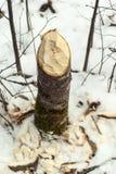 Stump of aspen, tumbled by beaver Stock Photos