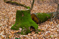 Stump in the autumn forest. Stump covered with green moss on a background autumn fallen leaves in the forest stock photos