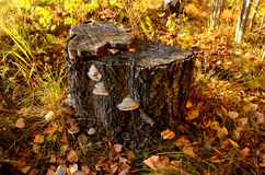 Stump in the autumn forest Royalty Free Stock Image