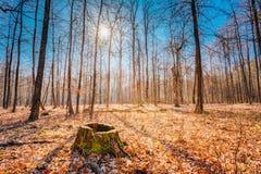 Stump In Autumn Oak Forest. Nobody Stock Image