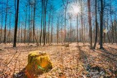 Stump In Autumn Oak Forest. Nobody Stock Photos