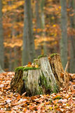 Stump in the autumn woods Royalty Free Stock Image